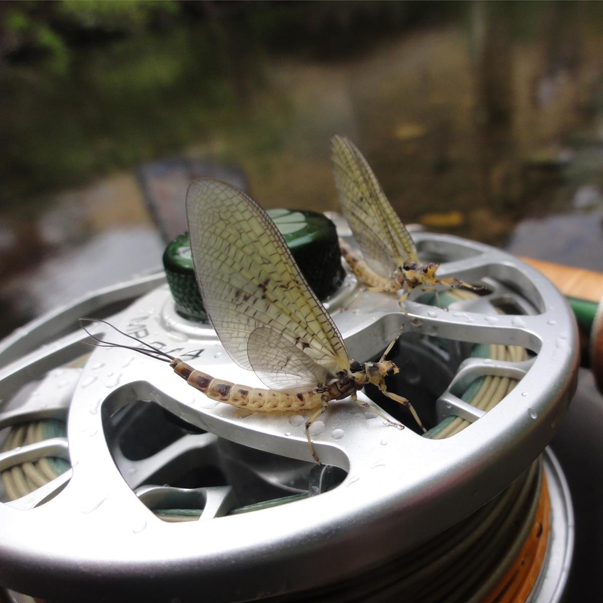 Eintagsfliegen auf MP-Fliegenrolle